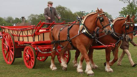 The Heavy Horses Display included these magnificent Suffolk Punches hauling a Norfolk Wagon. Picture