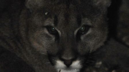 A puma sighting has been reported in Warboys.
