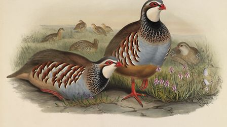 John Gould's illustration of a partridge. Picture: Todd-White Art Photography