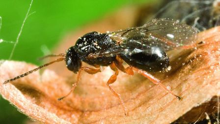 Oriental chestnut gall wasp. Photo courtesy of: Forestry Commission / Gyorgy Csoka