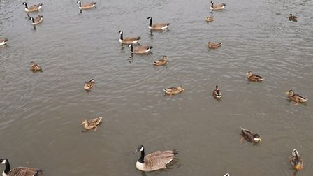 Cllr Chichester-Miles said that over population of ducks at Verulamium lake is a problem