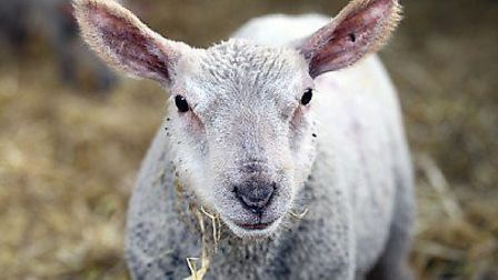 A sheep has been stolen from a farm in Wheathampstead