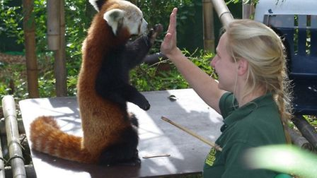 Red Panda Day at Shepreth