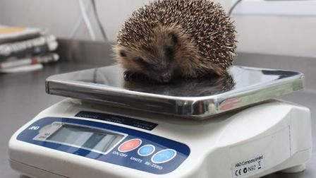 Checking 11 week old Maisit's weight. PICTURE: Clive Porter.