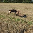 The RSPCA is warning of the dangers of discarded litter after two fallow stags were found with their