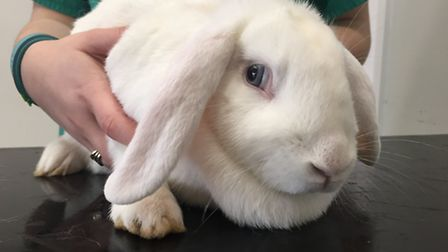 The white rabbit, dumped on the rugby field next to the Village Vet, Smallford - can you give her a