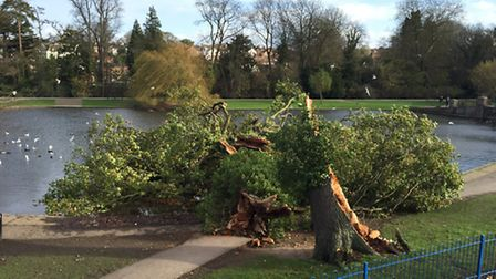 High-angle view of the tree, which was blown into Verulamium Lake this week.