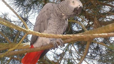 Brampton couple are searching for their missing parrot Bobby