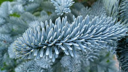 Blue pine for that frost-tinited effect