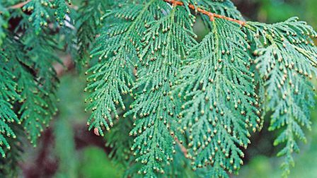 Cedar trees are used often in Christmas decor