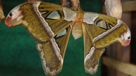 Butterfly World, Chiswell Green. Atlas Moth (Attacus Caesar)