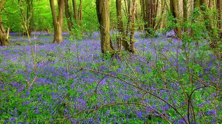 Bluebells in Springtime at Heartwood Forest