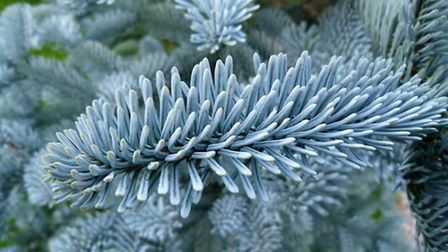 Harvest the branches of your pine tree and make scented sachets