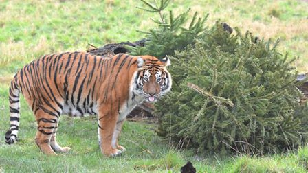 Hamerton Zoo Park Tigers, with their donated christmas trees,