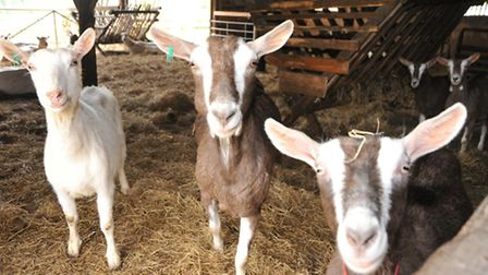Naughty but nice: Childwickbury goats