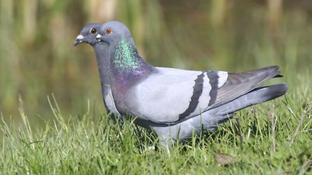 Racing pigeons similar to the ones pictured were stolen in St Albans - pic courtesy o Kat Paws