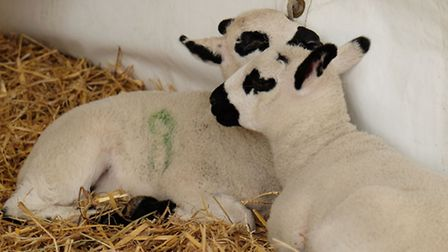 Newborn lambs at the lambing weekend at Oaklands College