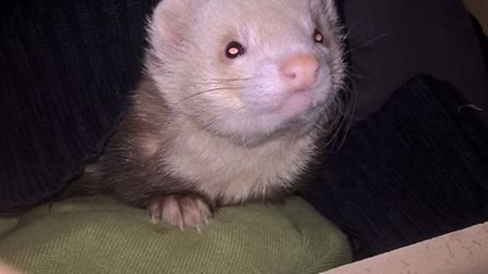 One of the ferrets stolen from a house in Upwood