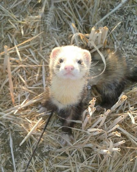 One of the stolen ferrets