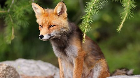 Fox by name; fox by nature?