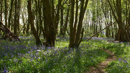 Bluebells before and after trampling