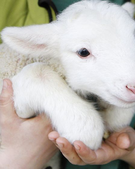 A White Faced Woodland Lamb