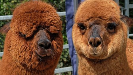 Alpaca's on show at the Barkway market