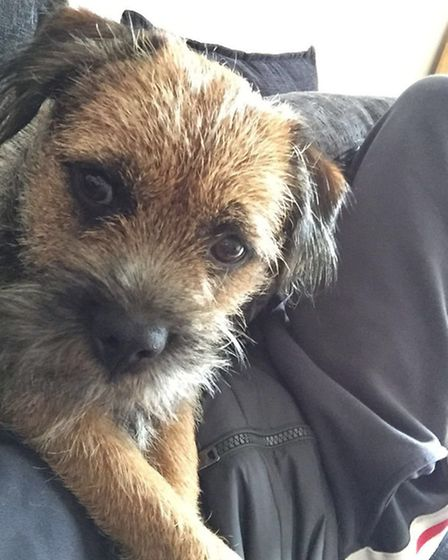 Border Terrier Ozzy was stolen from Bricket Wood