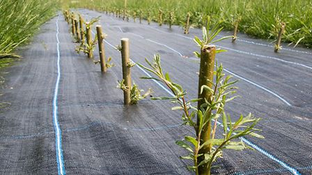 Scientists have provided native willows for Heartwood Forest in St Albans. Photo courtesy of Rothams