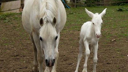 6 day old Daisy (right) standing next to one of the mares.