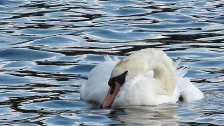 Park visitors were concerned about the health of this swan in the Lake