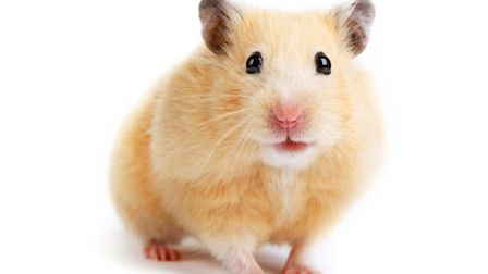 Hamsters are considered an ideal first pet