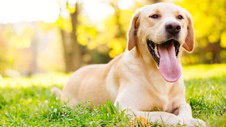 Man's best friend: What's not to like about a Lab?