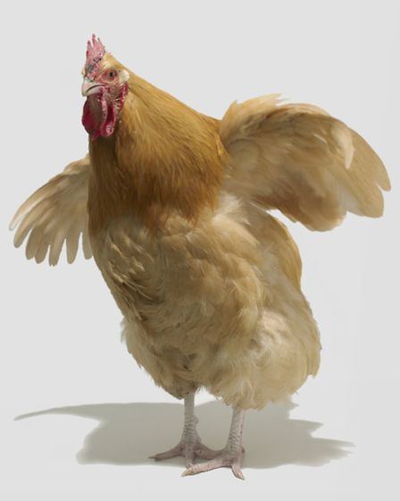 In a flap: Chickens make great pets