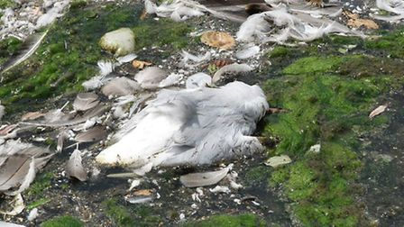 One of the dead ducks in Verulamium Park - photo courtesy of Barry Kimber