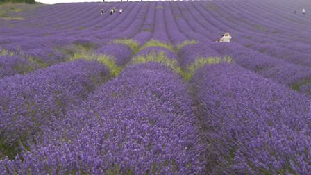 Pretty purple: Ickleford lavender fields are a visual treat