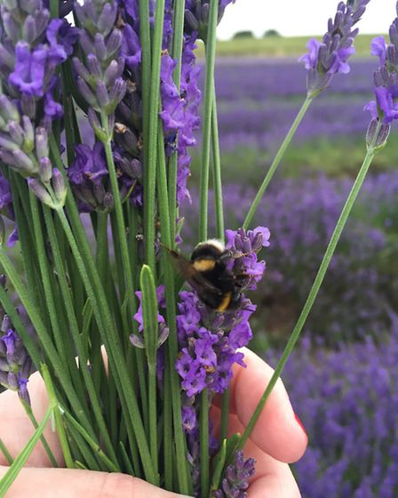 Bees can't get enough of the fragrant lavender