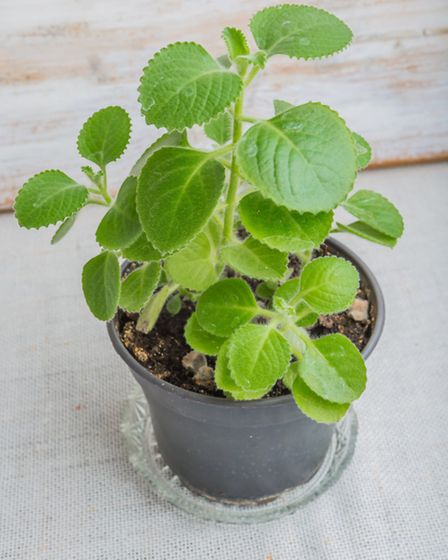 Pleasantly-fragranced house plants such as Cuban oregano are an odour asset