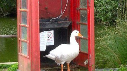 The Sandon goose in his favourite hang-out, before he died from 'blunt force trauma'.