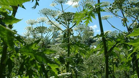 Giant hogweed: more than meets the eye