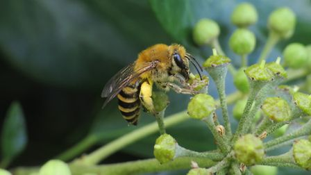 An ivy bee pictured by local wildlife photographer Tom Speller (@tomray31)