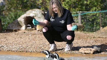 Herts Advertiser reporter Andrea Pluck feeds the Blackfooted Penguins.