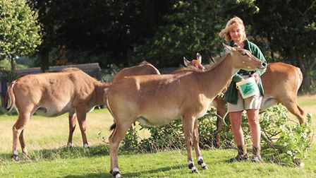 Zookeeper Joy Lear, 59, with a herd of nilgai
