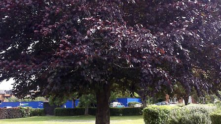 Tree in Royston's Priory Memorial Gardens