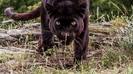 Could there be a Beast of Hertfordshire? Residents have reported seeing a panther (file photo) in Ha