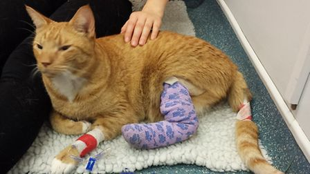 Thomas the cat had to have his leg amputated after he was hit by a car on Hill End Lane St Albans