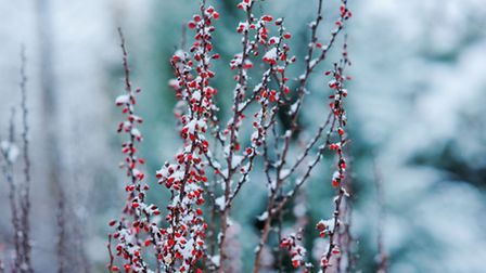 A winter garden can look lovely too, as these frozen barberry branches prove