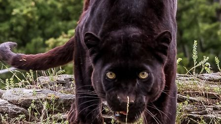 The Herts Police FoI response shows reports of panthers and other big cats in the county