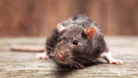 A drop in temperatures could result in an increase in rats
