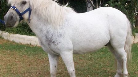 Shetland pony Snoopy will appear in Harpenden pantomime Cinderella